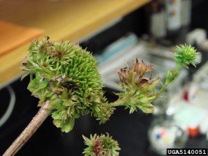 Aster yellows phytoplasma phyllody purple coneflower