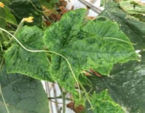 CGMMV, early mosaic, cucumber leaves