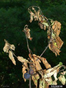 Erwinia amylovora, fireblight, apple branch