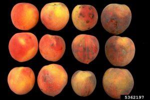 Mechanical damage, peach