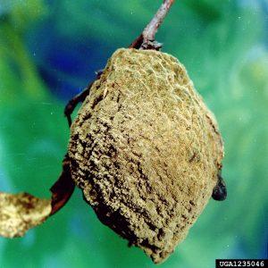 Monilinia fructicola fruit mummy heavy sporulation peach