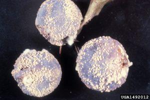 Monilinia sp. brown fruit rot peach