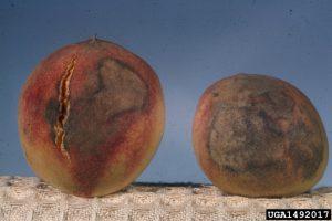 Monilinia sp., brown rot, before sporulation, peach