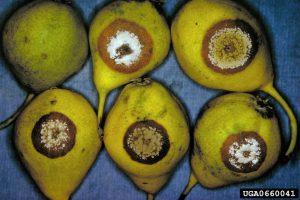 Monilinia spp., brown fruit rot, pear