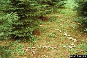 Mycorrhizal fungi white spruce