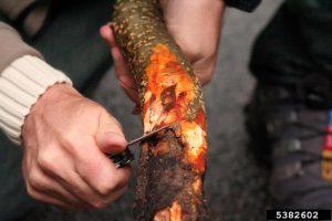 Phytophthora alni alder collar rot orange inner bark