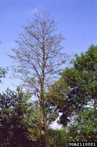 Phytophthora alni dieback, E. black alder