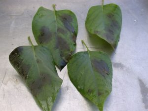 Phytophthora ramorum, lilac (upper leaf surface)