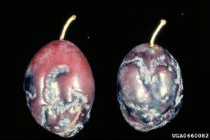 Plum pox virus, fruit rings and deformity, plum