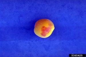Powdery mildew, apricot fruit