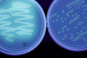 Pseudomonas sp., UV light,