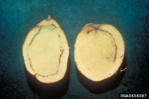 Ralstonia solanacearum brown rot potato