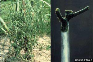 Ralstonia solanacearum wilt, bacterial streaming, tomato