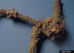 Rhizobium radiobacter, galls on apple roots