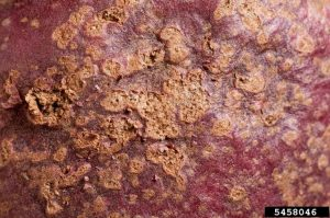 Spongospora subterranea, powdery scab, potato